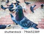 pigeons. a girl is feeding...   Shutterstock . vector #796652389