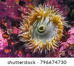 an sea anemone on the pacific... | Shutterstock . vector #796674730