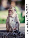 Portrait Of  Brown Macaque...