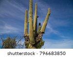 Saguaro Cactus Disease Bacteria ...