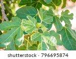 Fig Tree. Ripe Fig Fruits On...