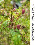 Small photo of Clematis alpina constance red flowers of liana with green