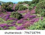 heather at headen warren isle... | Shutterstock . vector #796718794