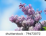 Lilac On A Background Of...