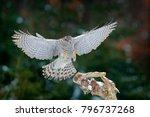 Goshawk Landing  Bird Of Prey...