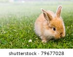 Baby gold rabbit in grass - stock photo