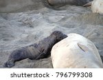 Small photo of Female elephant seal with infant pup nursing on a beach in California. Pups nurse about four weeks are weaned abruptly then abandoned by their mother, who heads out to sea within days.