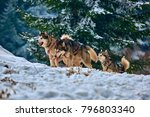 free dog sled racing contest...   Shutterstock . vector #796803340