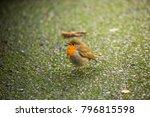 robin redbreast   european... | Shutterstock . vector #796815598