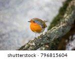 robin redbreast   european... | Shutterstock . vector #796815604