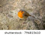 robin redbreast also known as a ... | Shutterstock . vector #796815610