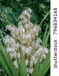 Small photo of Yucca aloifolia, aloe yucca, dagger plant, Spanish bayonet