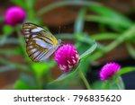 striped albatross female ... | Shutterstock . vector #796835620