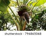 banana tree and banana blossom | Shutterstock . vector #796865068