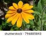 rudbeckia hirta  also known as... | Shutterstock . vector #796885843