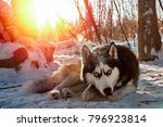 Siberian Husky Lies In The Sno...