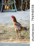 thailand beautiful cock... | Shutterstock . vector #796948558