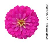 pink flower bloom isolated on... | Shutterstock . vector #797006350