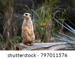 meerkat on log | Shutterstock . vector #797011576