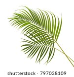 Yellow Palm Leaves  Dypsis...