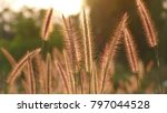 sunset through the reed | Shutterstock . vector #797044528