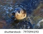 close up seal animal baby or... | Shutterstock . vector #797094193