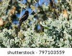 red collared widowbird | Shutterstock . vector #797103559