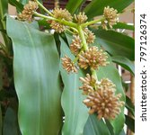 Small photo of The flower of Dracaena, bloom and smelly fragrant in the evening to all night.