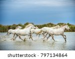 white camargue horses galloping ... | Shutterstock . vector #797134864