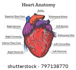 heart anatomy colored sketch.... | Shutterstock .eps vector #797138770
