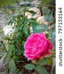 Small photo of One Beautiful Pink rose focused closely in the garden. It can symbolize passion, soul, romanticism, purity, beauty.