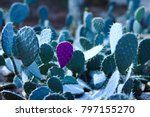 Cactus With A Petal Isolated I...