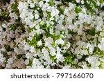 white hydrangea flower.... | Shutterstock . vector #797166070