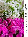 pink and white hydrangea flower.... | Shutterstock . vector #797166073