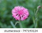 Pink Cornflower Herb Or...