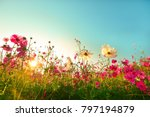 Stock photo beautiful cosmos flowers blooming in garden 797194879