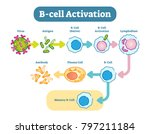 b cells  also known as b... | Shutterstock .eps vector #797211184