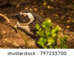 Peguin Sleeping Amongst Bushes...