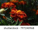 growing marigold flowers | Shutterstock . vector #797240968