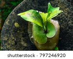 Small photo of Wild orchid leaves adhere on a wooden.