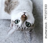 Stock photo closeup eyes cat for portrait photo cat looking up and thinking pretty action of thai cat white 797257333