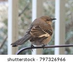 Northern Mockingbird Perched O...