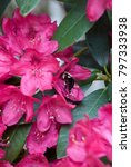 Bee On Rhododendron Flowers...