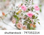 Stock photo flowering pink roses under the snow vintage pastel colors 797352214
