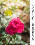 roses in the garden  roses are... | Shutterstock . vector #797470714