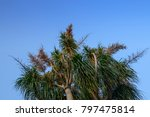 Flower Of The Ponytail Palm ...