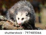 young possum on a log | Shutterstock . vector #797485066