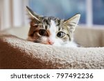 Stock photo brown and white tabby kitten is hiding in a cat bed 797492236