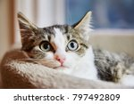 Stock photo brown and white tabby kitten sitting in a cat bed and looking to the camera 797492809