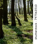 Small photo of In the spring forest, the woods of anemic anemones flourish